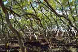 Mangrove Walk, Wynnum