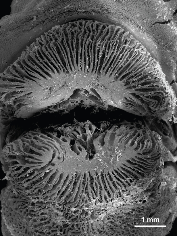 Lips tubelip wrasse (Labropsis australis) SEM